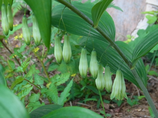 恐羅漢山の花017