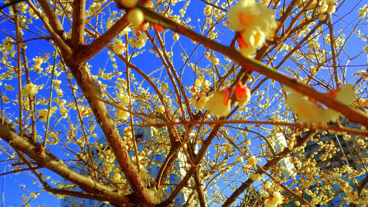 3月はじめのお堀の梅1