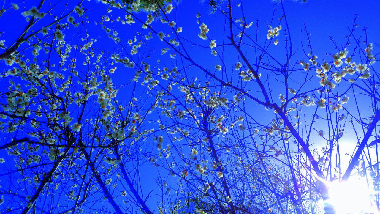 3月はじめのお堀の梅3