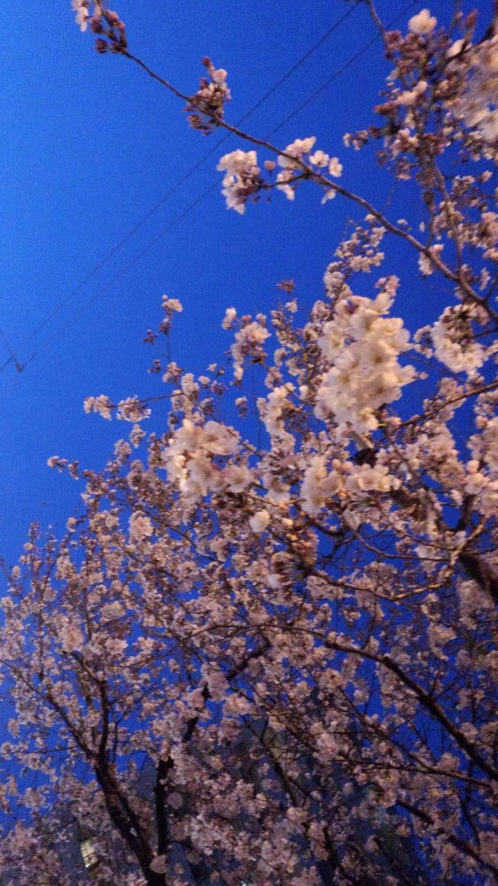 3月末の堀之内公園の桜3