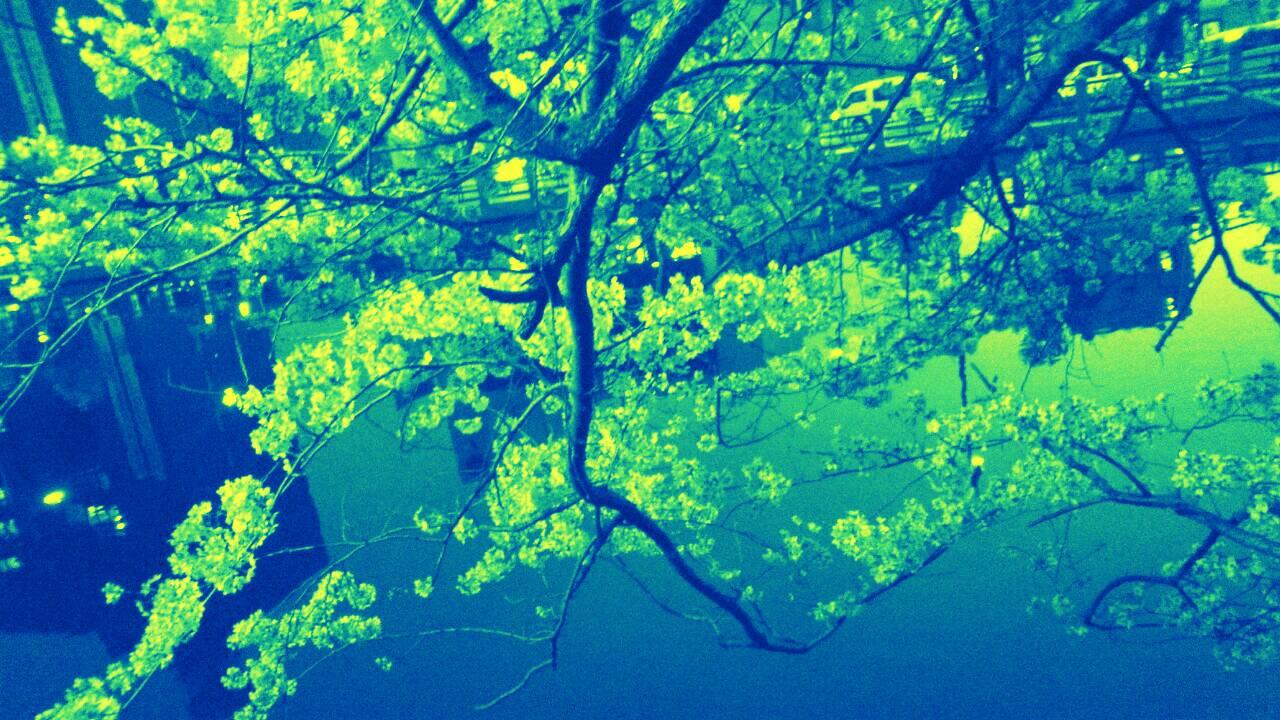 3月末の堀之内公園の桜4