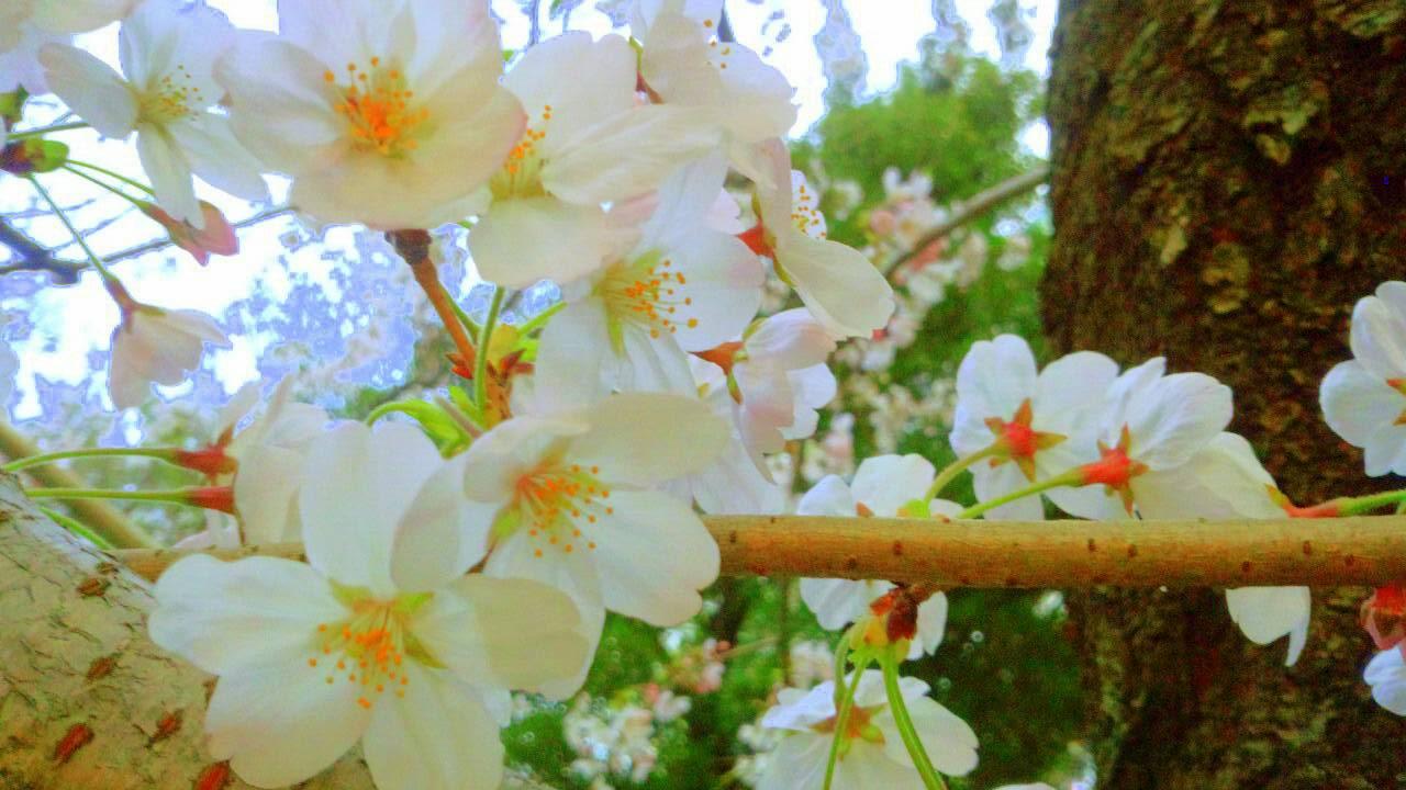 3月末の堀之内公園の桜6