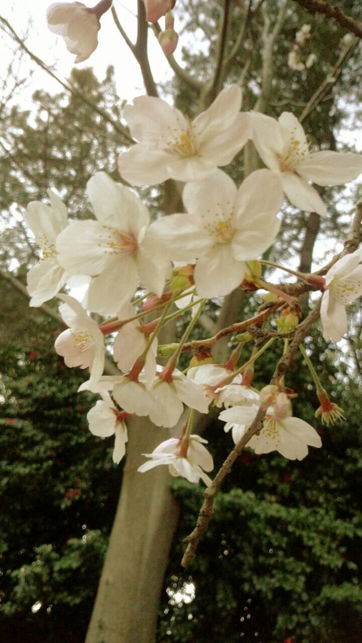 3月末の堀之内公園の桜8