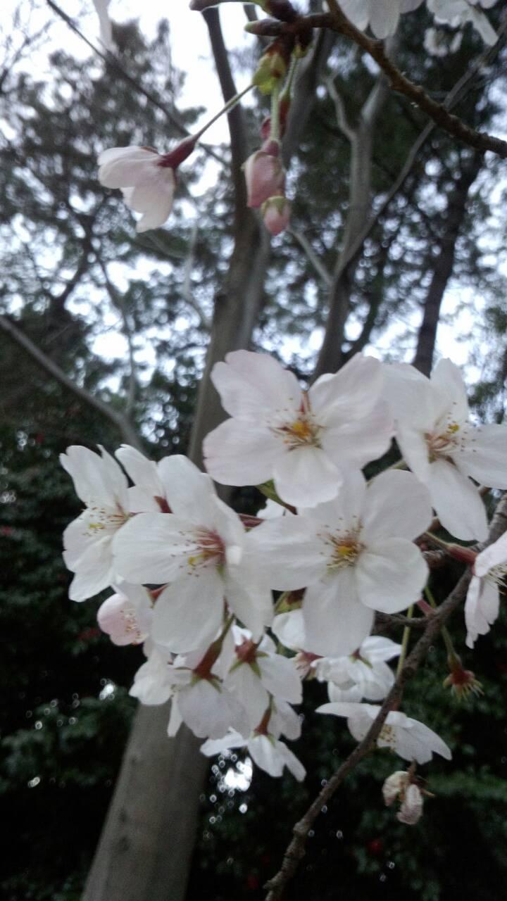 3月末の堀之内公園の桜10