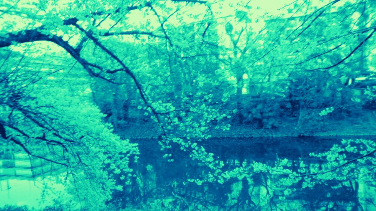 3月末の堀之内公園の桜17