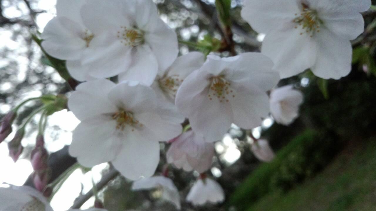 3月末の堀之内公園の桜24
