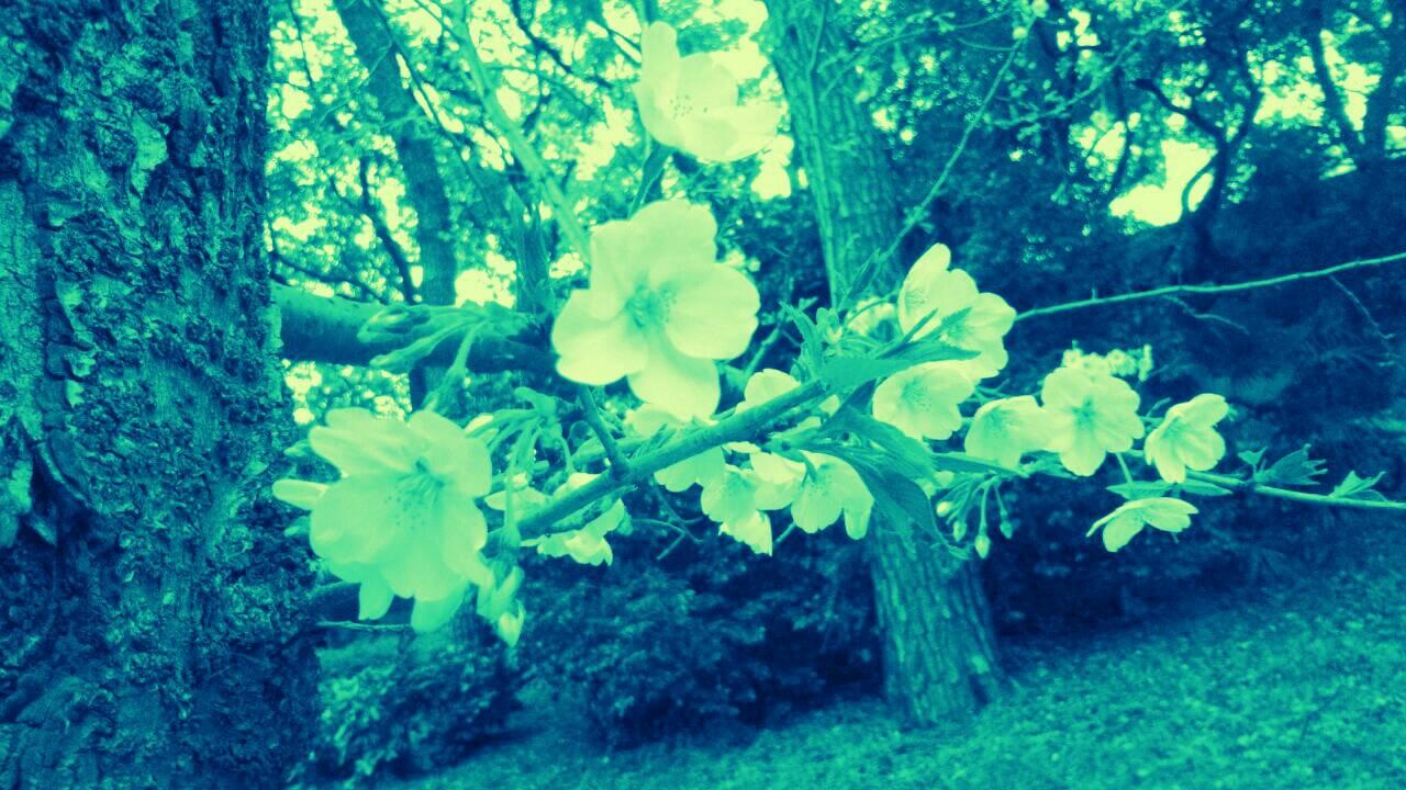 3月末の堀之内公園の桜25
