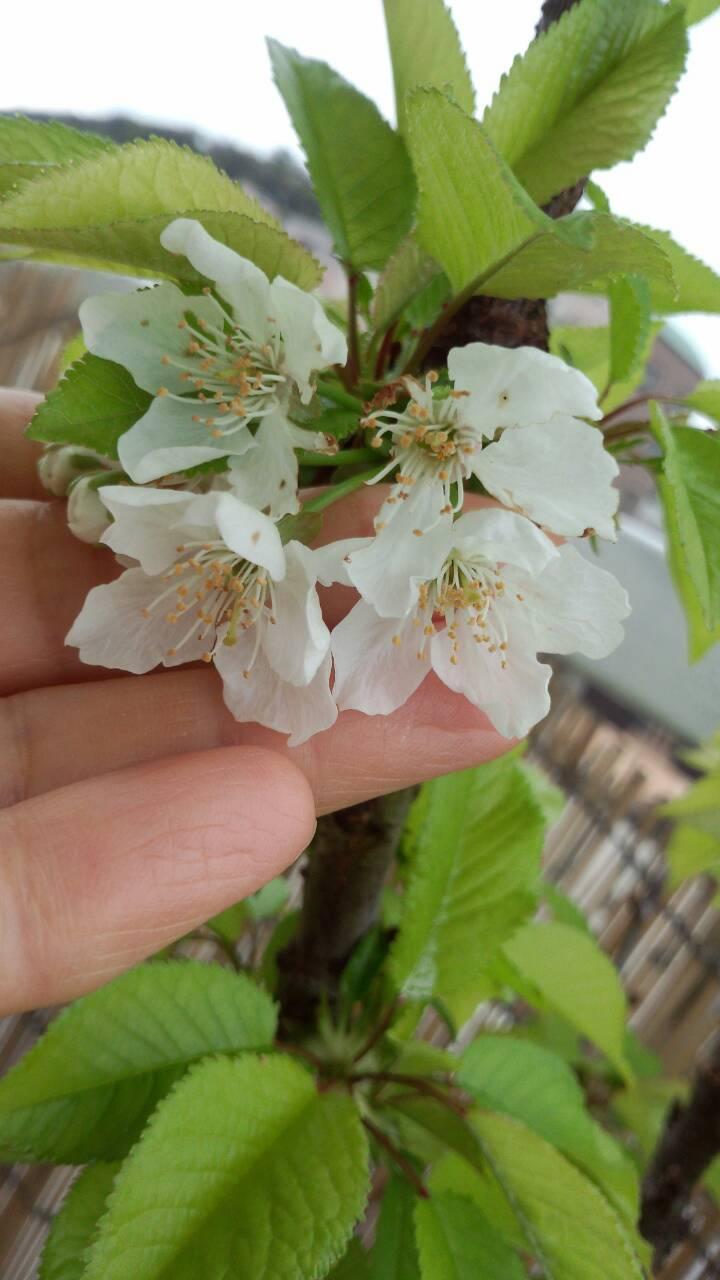 ミーママ家の屋上のさくらんぼの花