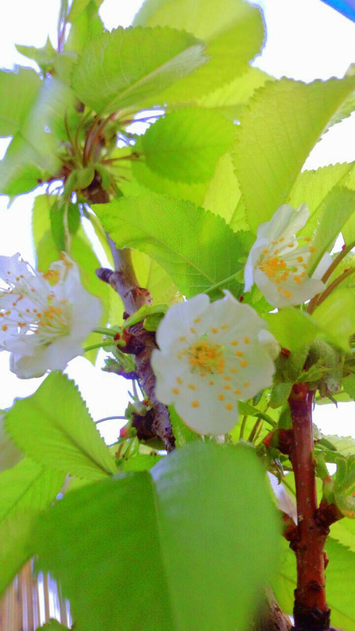 ミーママ家の屋上のさくらんぼの花 (2)