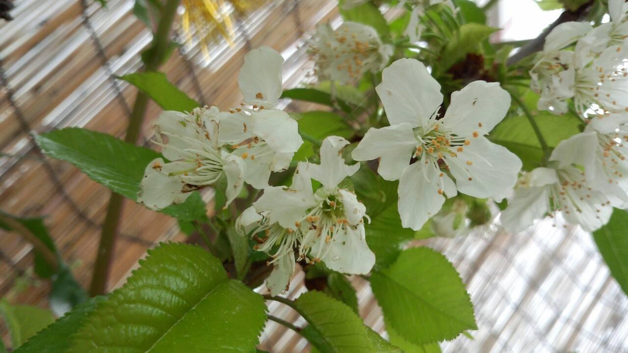 ミーママ家の屋上のさくらんぼの花 (3)