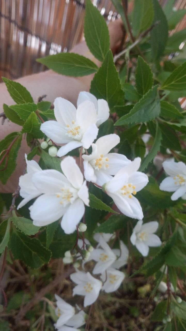 ミーママ家の屋上のさくらんぼの花 (4)