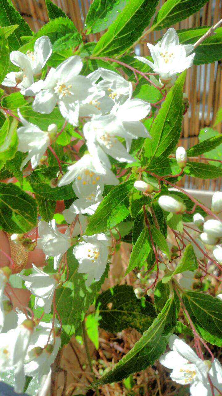 ミーママ家の屋上のさくらんぼの花 (5)