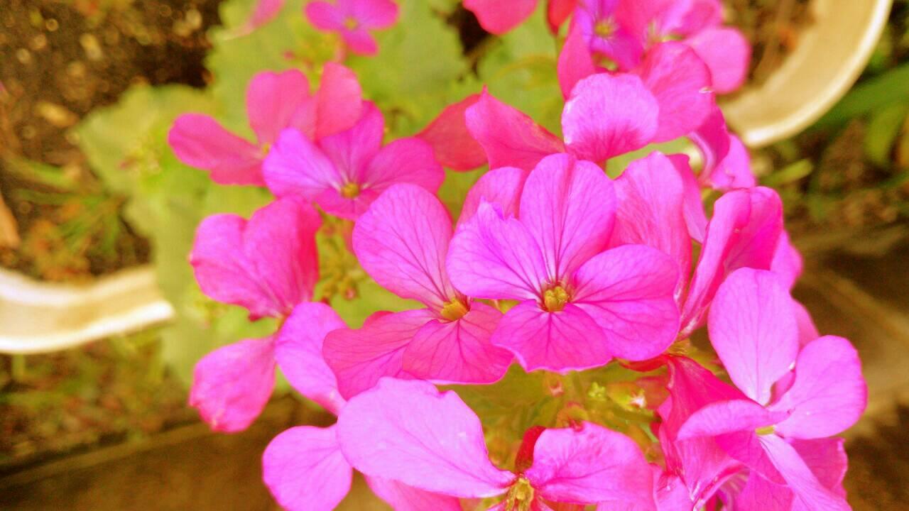 ミーママ家の屋上の花