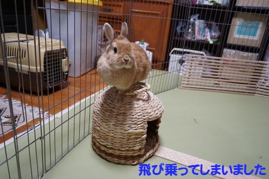 ぴょん子150212_07