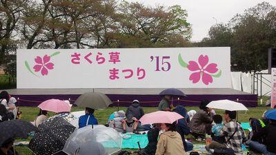 15_さくら草まつり1
