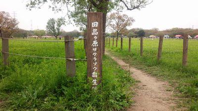 15_さくら草まつり2
