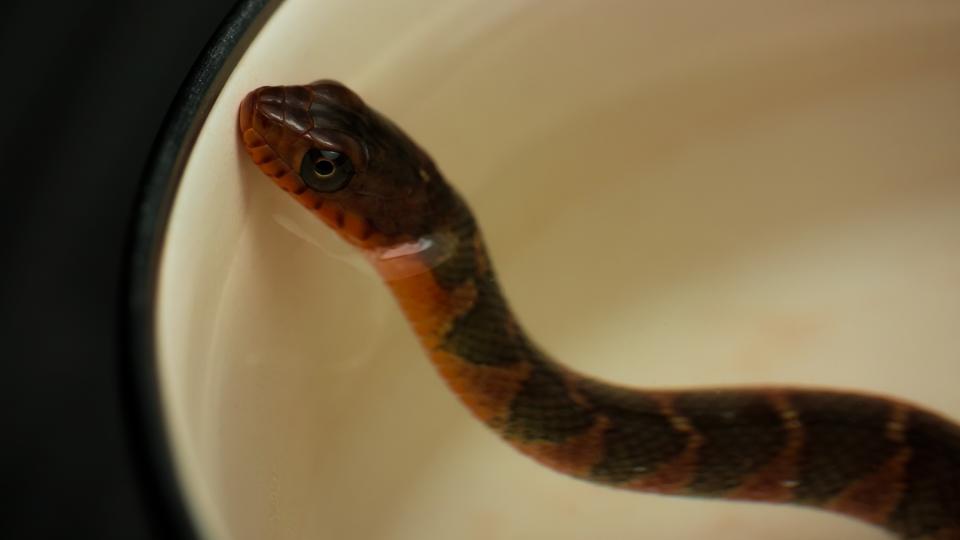 アカハラミズベヘビ