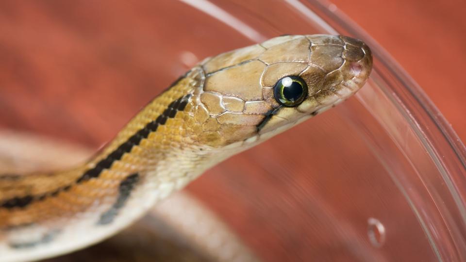 トリンケットヘビ