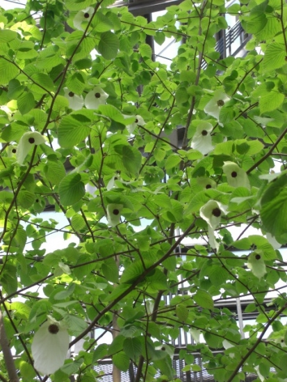 CIMG0856ハンカチの木