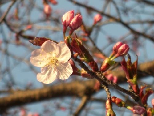 CIMG0905桜