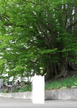 CIMG1033桂の木