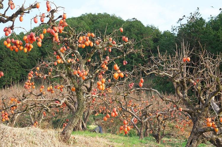 干し柿の季節 2