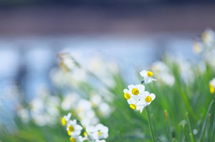 水仙が咲く頃