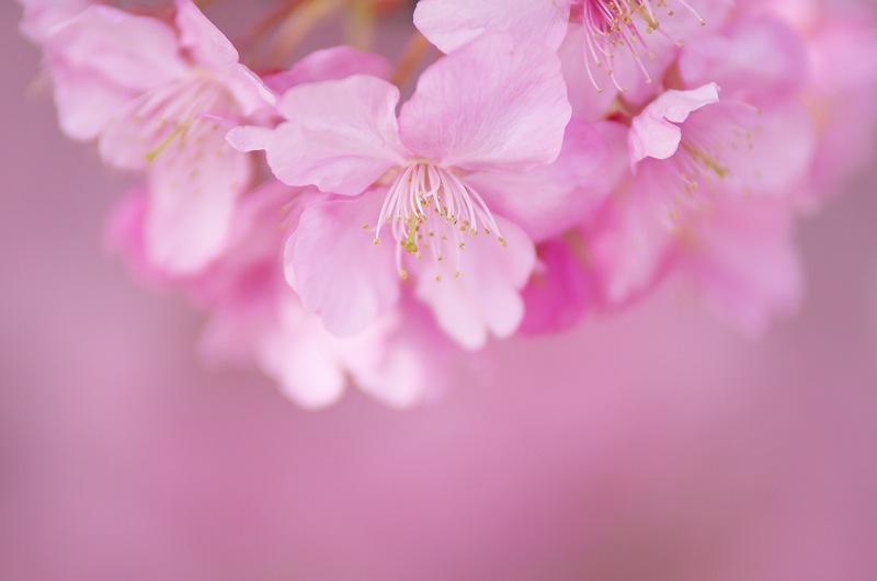 焼津 朝比奈川の河津桜