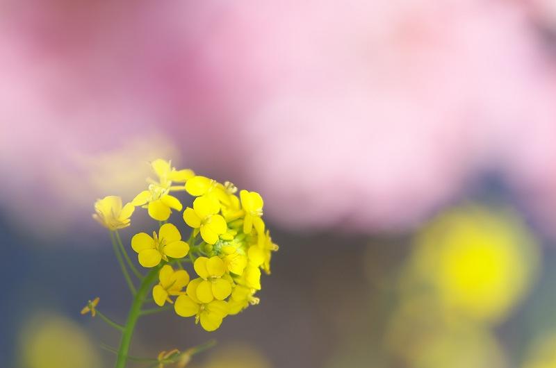 焼津 朝比奈川の河津桜 2