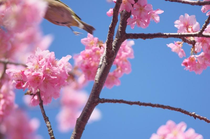 焼津 朝比奈川の河津桜 3