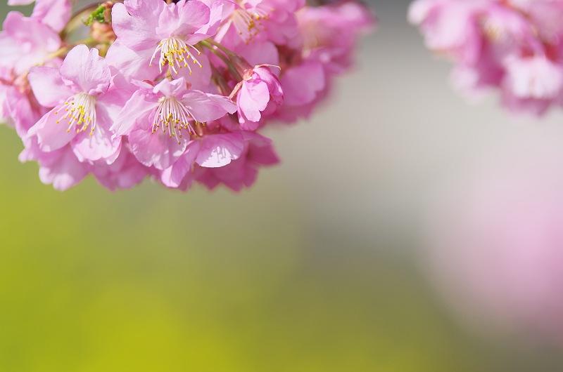 焼津 朝比奈川の河津桜 4