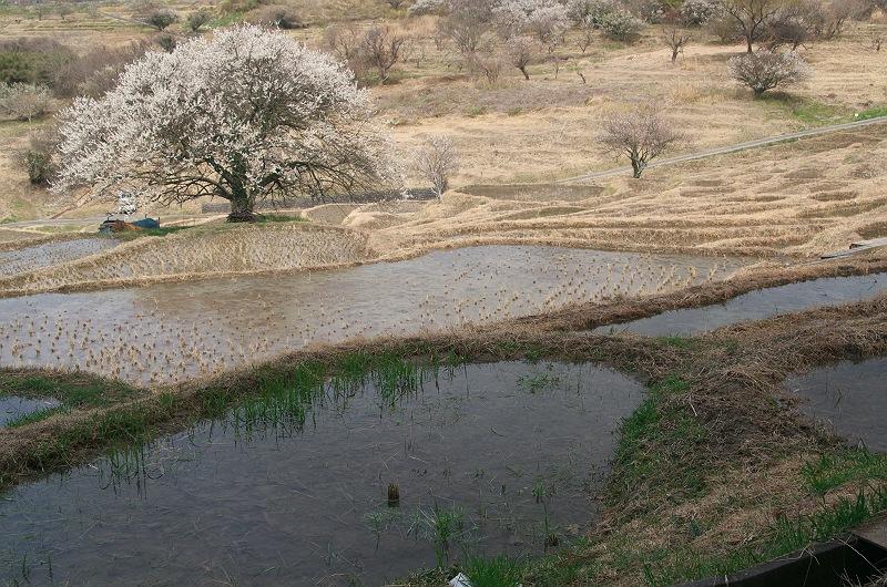 棚田に訪れる春 3