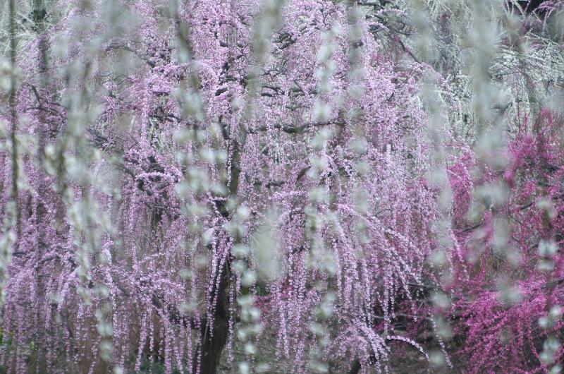 龍尾神社の枝垂れ梅 4