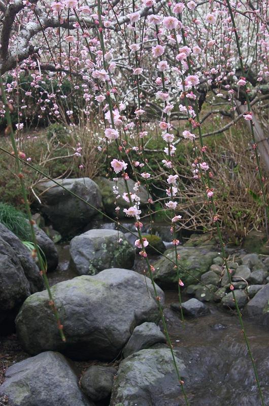 龍尾神社の枝垂れ梅 5