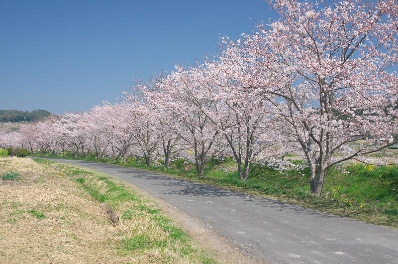 さくら咲く春 2