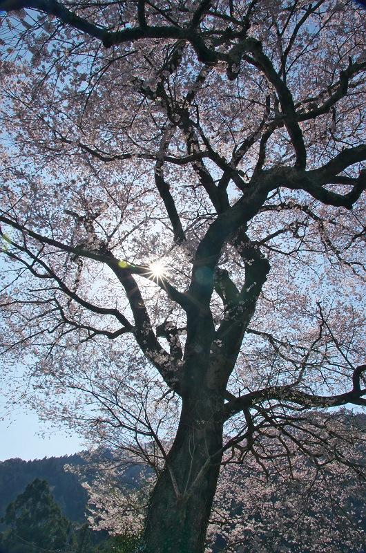 みずめの桜