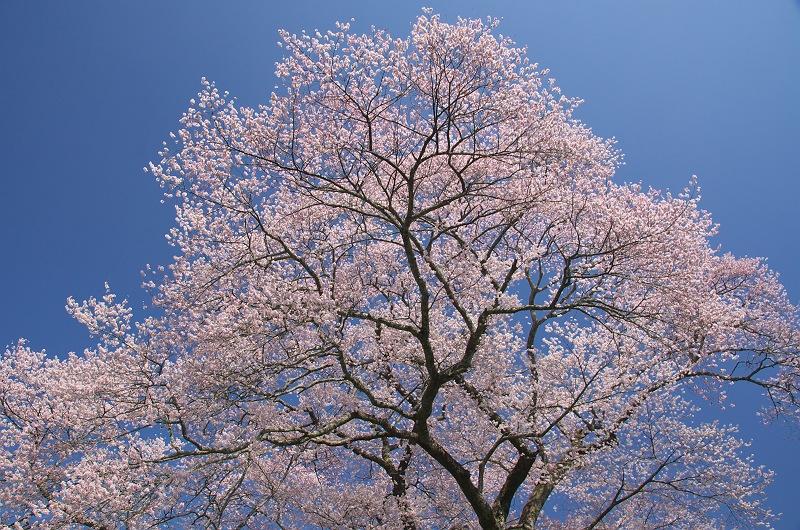 みずめの桜 2