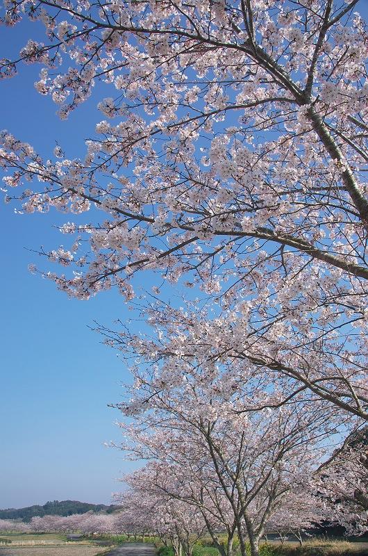 さくら咲く春 3