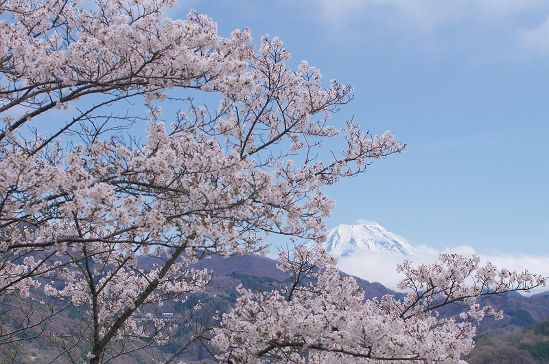 大法師公園の桜