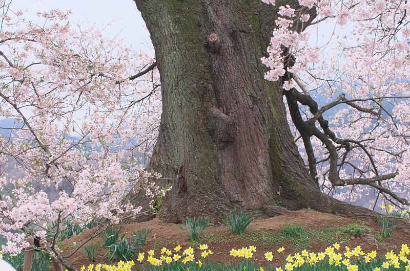 王仁塚の桜 1