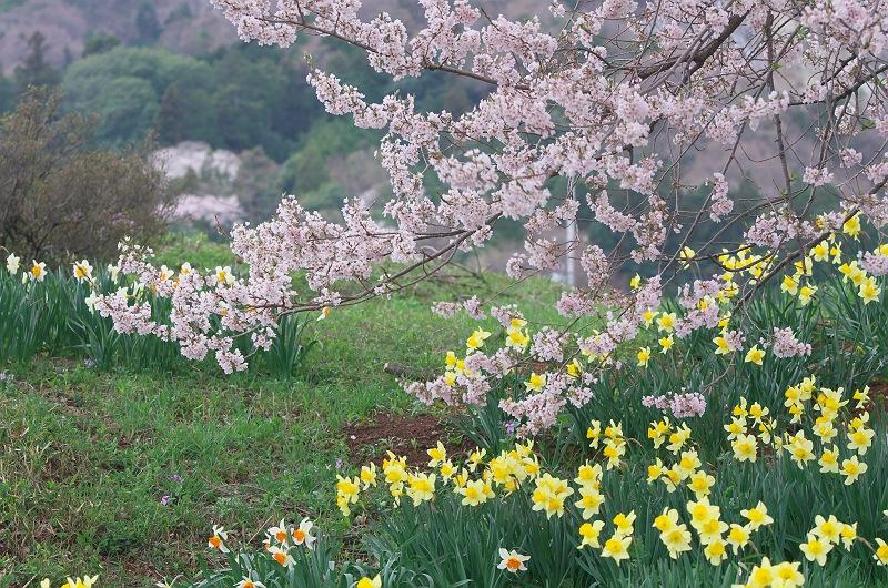 王仁塚の桜 3