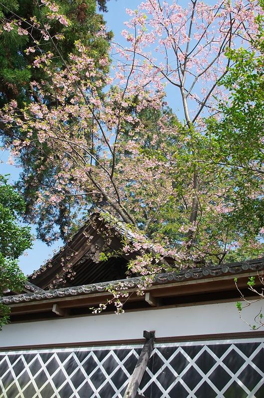 春の医王寺 2