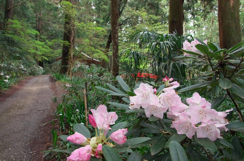 石楠花とツツジと枝垂れ桜が咲く小径 2