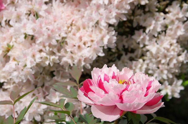 牡丹と躑躅が咲く頃 1