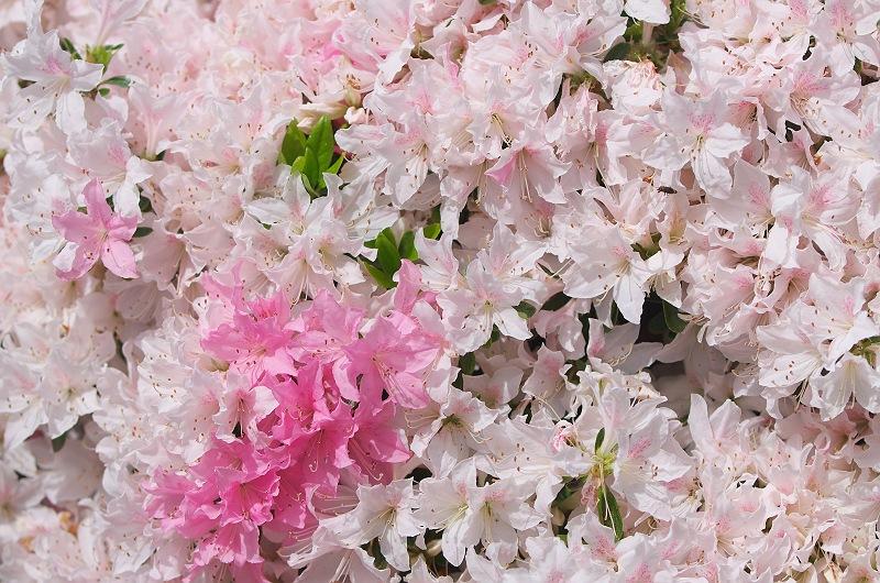 牡丹と躑躅が咲く頃 2