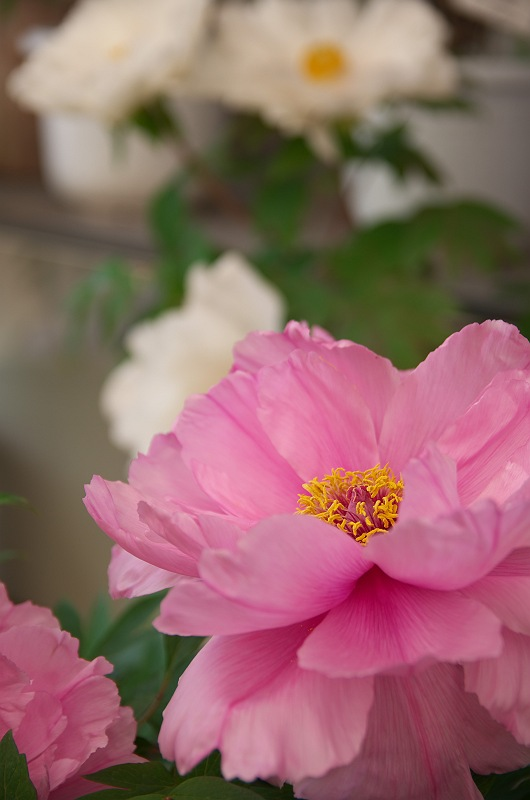 牡丹と躑躅が咲く頃 3