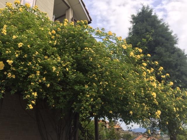 玄関側の黄モッコウバラ