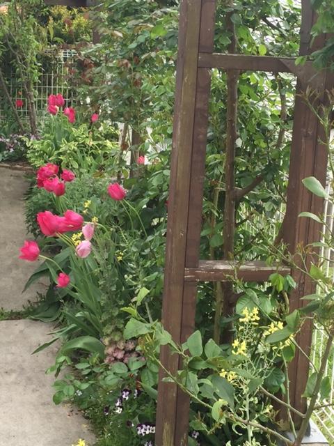 駐車場側花壇のチューリップ