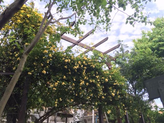 バーベキューコーナーの黄モッコウバラ