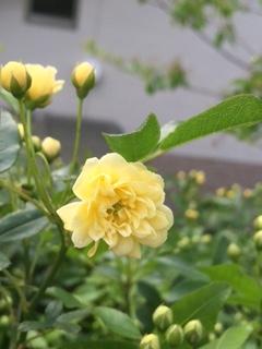 黄モッコウバラが咲きました